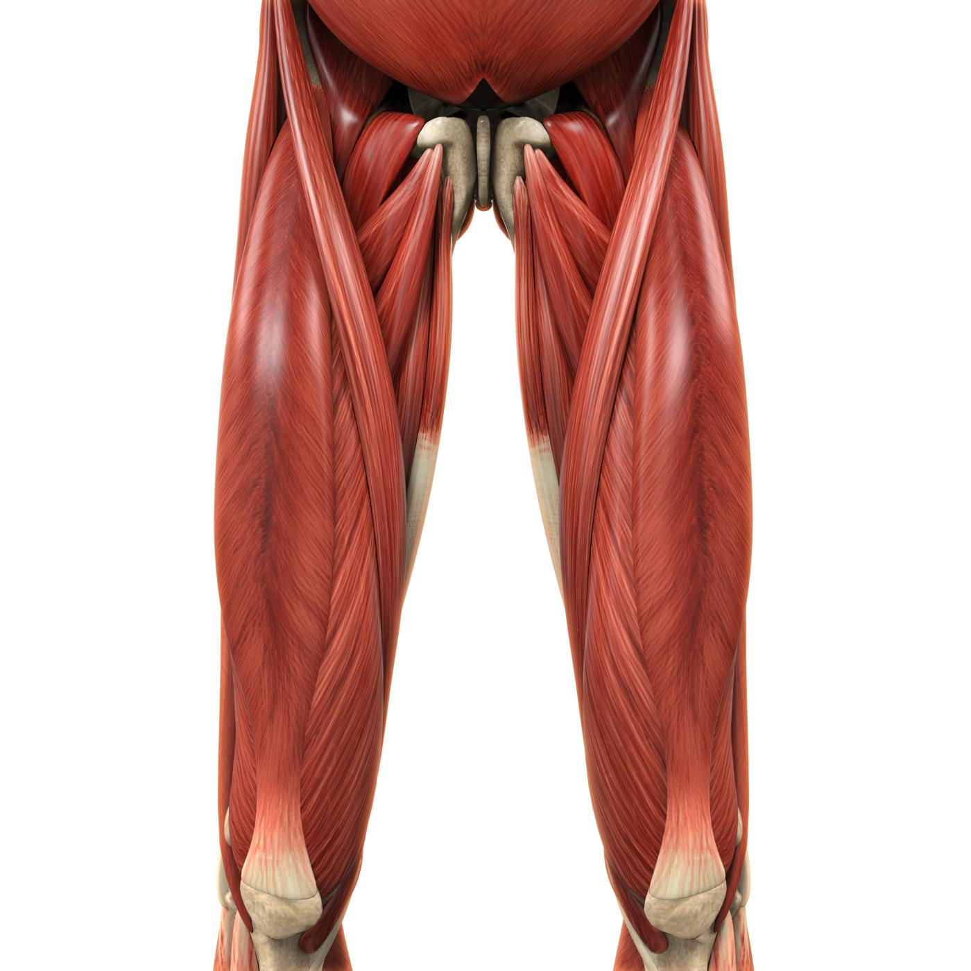 Anatomija mišića natkoljenice